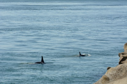 Orcas swam down Tumbo Channel while I was at East Point, my first time seeing them from land.